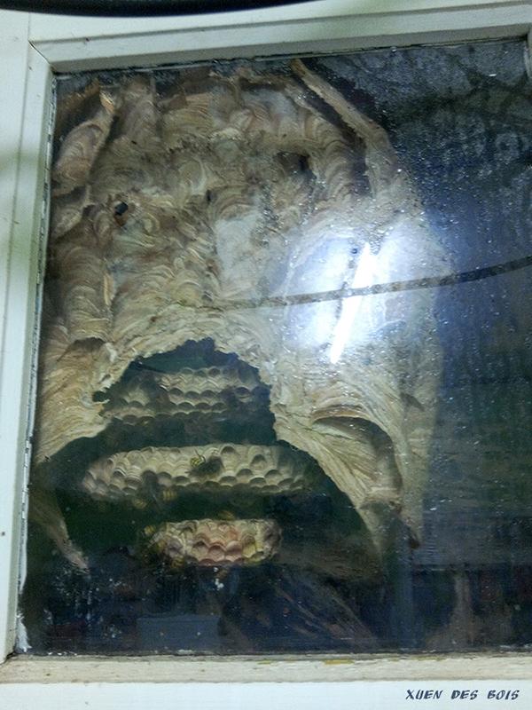 Un nid dans la fenêtre... FRELONS_20170825_200202