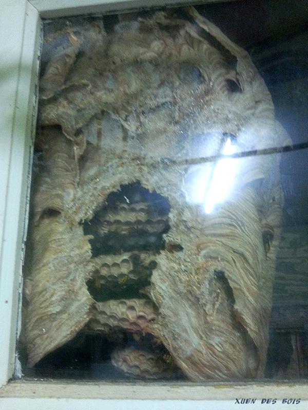 Un nid dans la fenêtre... FRELONS_20170901_194501