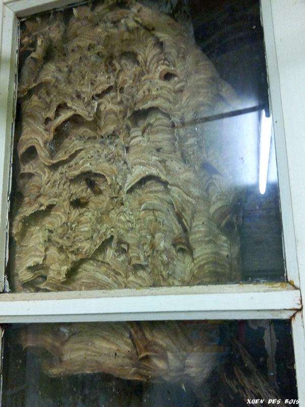 Un nid dans la fenêtre... FRELONS_20170908_193200