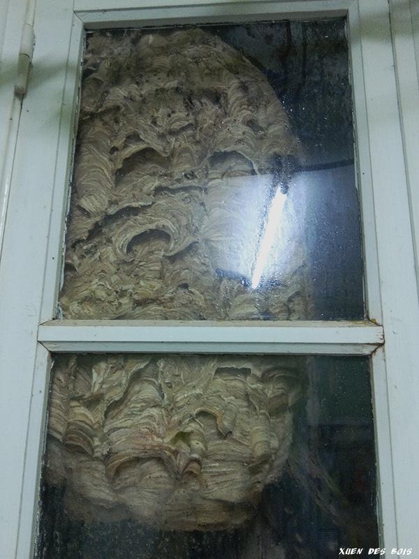 Un nid dans la fenêtre... FRELONS_20170921_200829