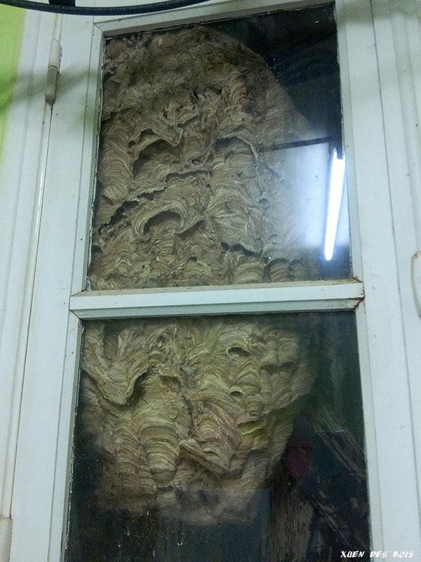 Un nid dans la fenêtre... FRELONS_20171001_193732