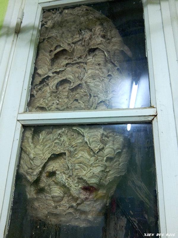 Un nid dans la fenêtre... FRELONS_20171006_191505