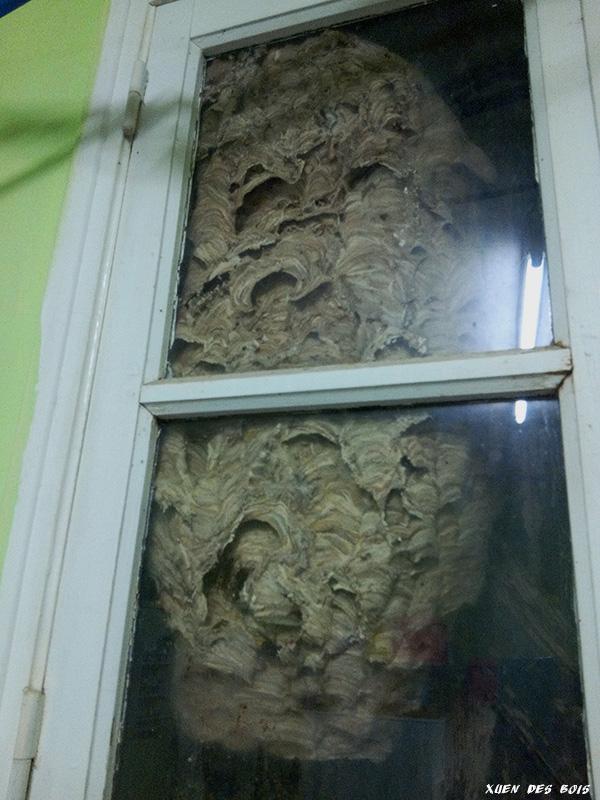 Un nid dans la fenêtre... FRELONS_20171021_104854